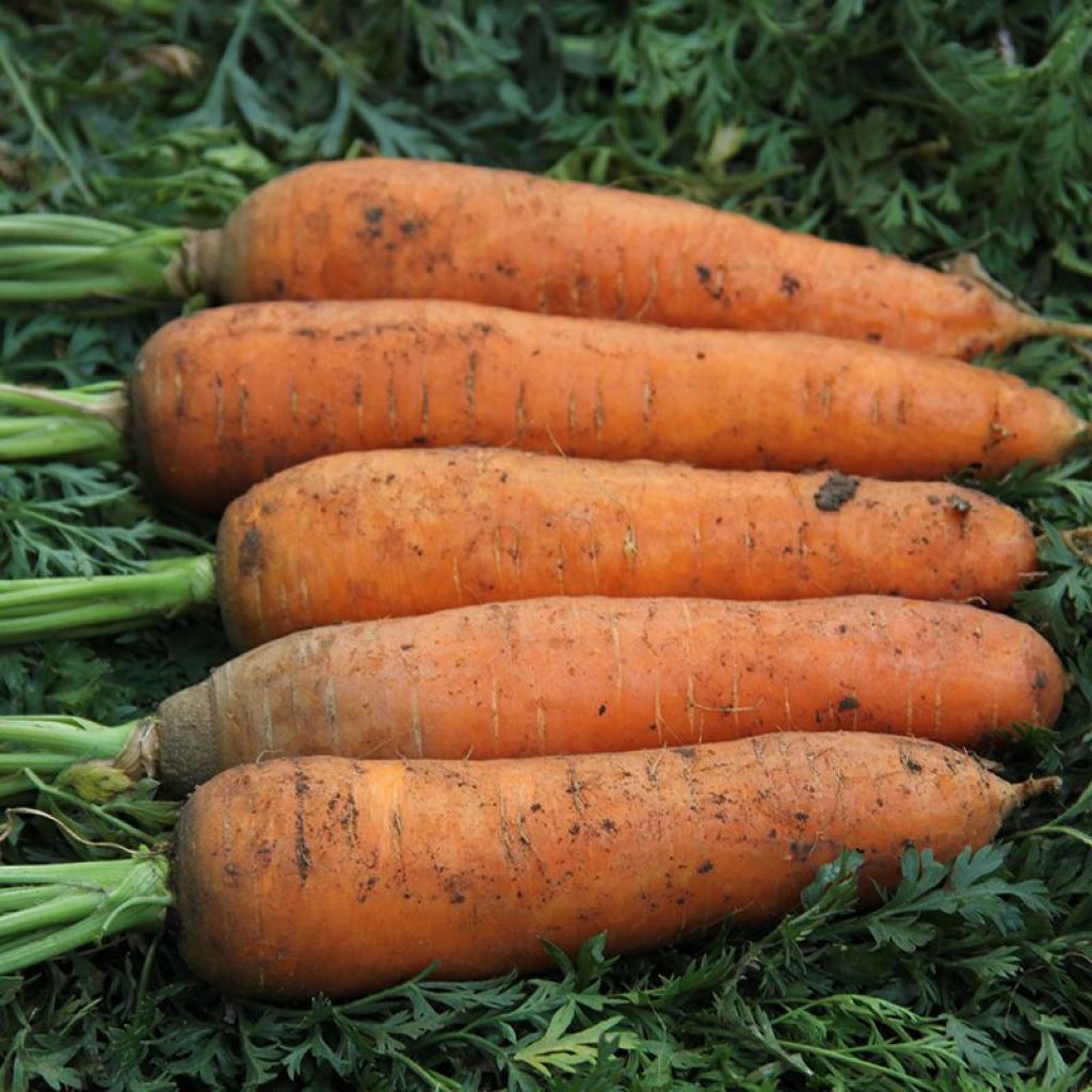 Морква від OVO