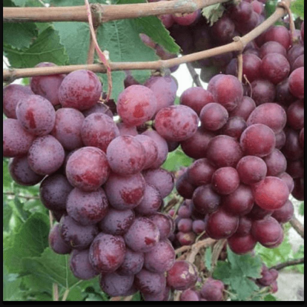 Виноград Ред глоб від OVO